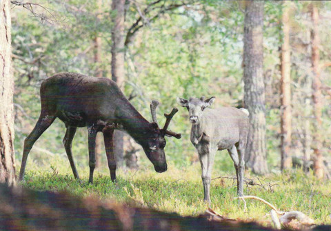 Reindeers in the summer forest