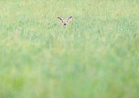 White-tailed deer hidden