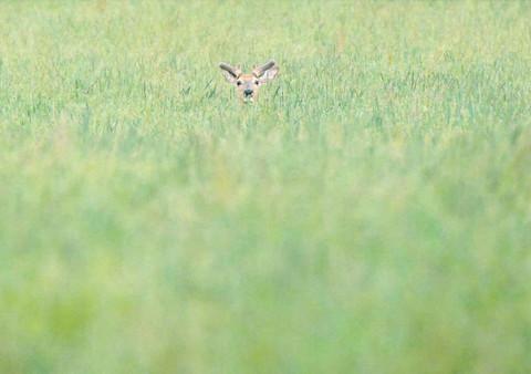 White-tailed deer hidden