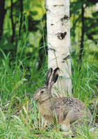 Hare under the birch