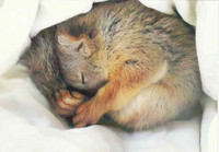 Squirrel sleeping