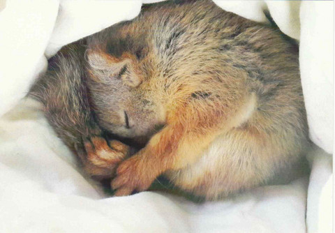 Squirrel sleeping