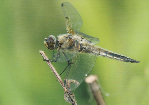 Dragonfly in the straw