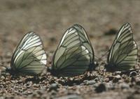 Pihlajaperhoset