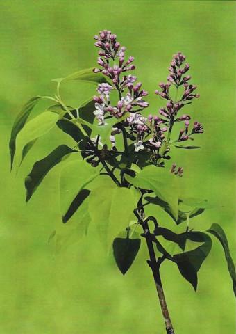 Syringa blooms