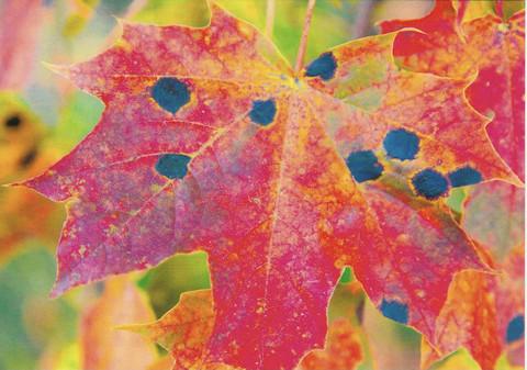 Colourful maple leaf