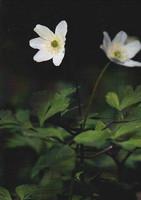 Valkovuokon kukat