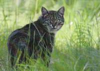 Kissa ruohikossa