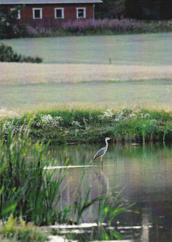 Gray heron in the water