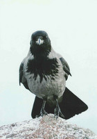 Crow on a stone