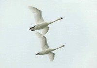 The flight of mute swans