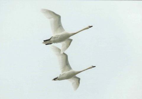 The flight of mute swans