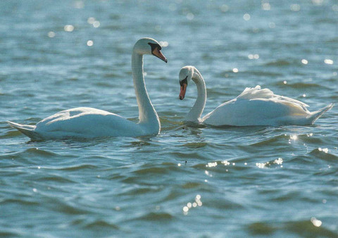 Mute swans couple