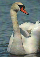 Mute swan in the water