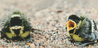 Great tit chicks (10x20cm)