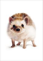 Henna Adel  - Hedgehog