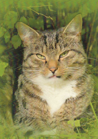 Kissa vihreällä taustalla