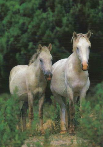 Valkoiset hevoset