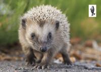 Little baby hedgehog