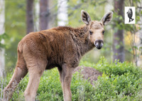 Cute baby moose