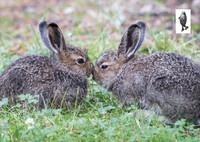 Baby European hares