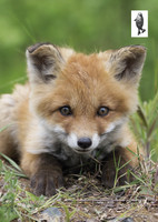 Sweet baby fox