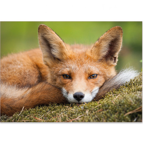 Fox - I'll rest for a while