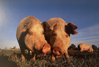 A pair of pigs on a meadow