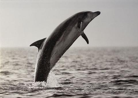 Delfiinin hyppy
