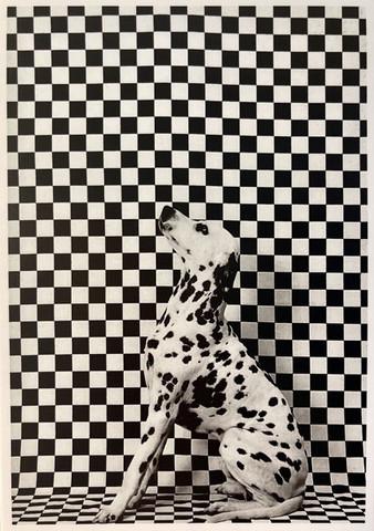Dalmatian and grid