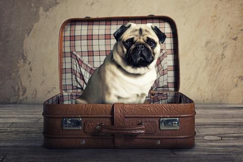 Mopsi matkalaukussa