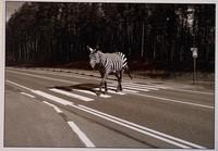 A zebra crosses a zebra crossing