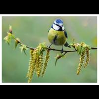 Bluetit on a branch