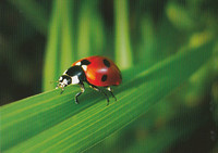 Ladybird on gras