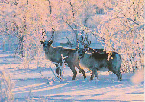 Reindeers in snow