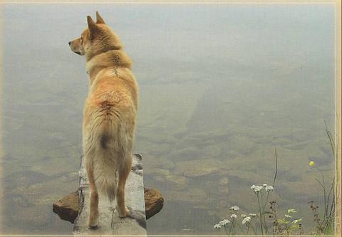 Koira katselee järvelle