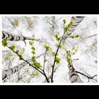 Keväiset koivut