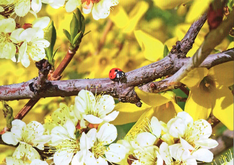 Ladybird sitting on a forsythia