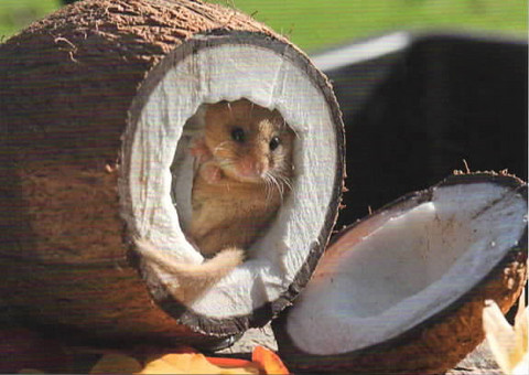Mouse in coconut