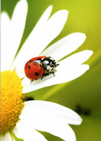 Ladybird on marguerite