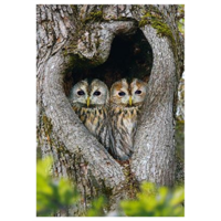 Owls in a tree hole