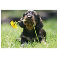 Puppy and dandelion