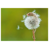Mouse in dandelion