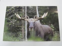 Postikortti hirvi sarvipää metsässä
