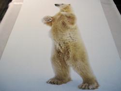 Juliste jääkarhu seisoo takajaloillaan 40x50cm