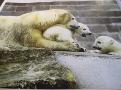 Juliste jääkarhuperhe, emo ja kaksi pentua 40x50cm