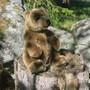 Pehmolelu ruskeakarhu 25cm, istuva karhu
