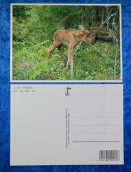 Postikortti hirven vasa metsässä