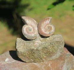 Ammoniittipari pyriitillä nro45-1