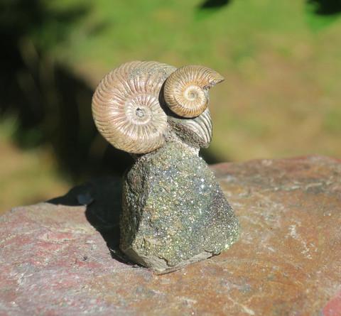 Ammoniittipari pyriitillä, korkeus 43mm nro3